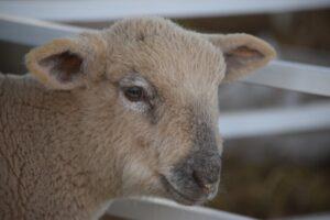 Primer remate del año de ovinos y caprinos en Fachinal