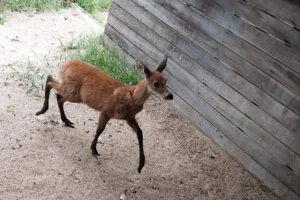 El Ministerio de Ambiente rescató a un ciervo de los pantanos en el Delta del Paraná