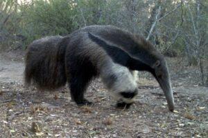 Estudian el impacto de la pérdida de bosque sobre el oso hormiguero